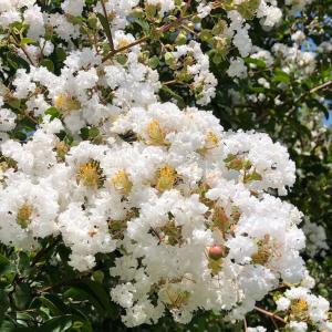 サルスベリ 百日紅 Crape myrtle が咲き誇っています… 子供の頃を思い出す事が出来る花の一つです。