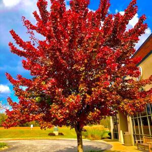 秋も深まり近所の紅葉も鮮やかになっています… 落葉が一斉になるのは離層の形成が同じタイミングだかららしいです…