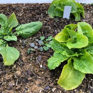 家庭菜園ビギナーが薄っすら雪化粧の中冬野菜を収穫…