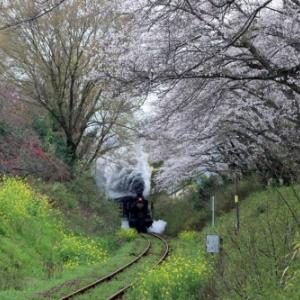 【音無支部】桜のトンネルを行くSL人吉号(2020.3.28)