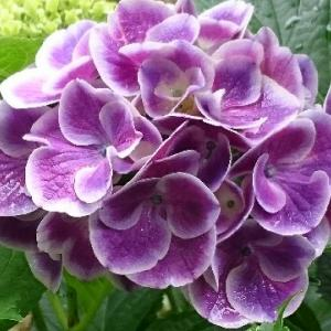 【北海道・道南】雨上がりの紫陽花