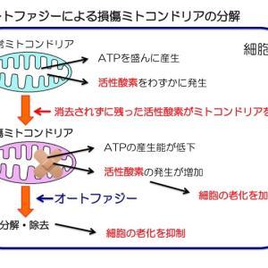 ミトコンドリアのオートファジーが細胞の老化を防止する?