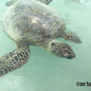 オアフ島 天国の海ツアーでウミガメに逢えました❣️(地図、写真追加です)
