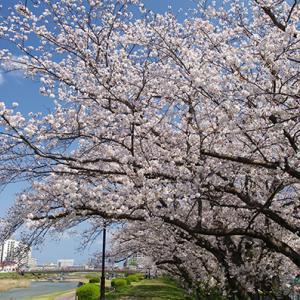 桜満開の室見川!