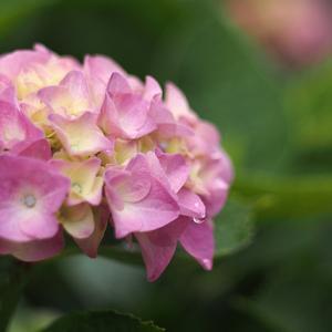 OM-D+50mmF2で紫陽花を撮ってみた!