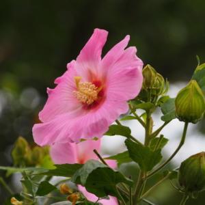 【芙蓉】もチラホラ咲いていました