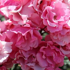 今日は仕事❕うーん利用者の一言に❔❔❔🤔大好きなバラの花🤗