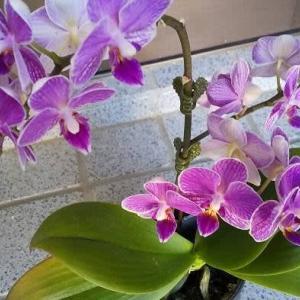 三次で断捨離❕ため息💨欲しかった色の胡蝶蘭と変わった色の紫陽花お買い上げ❕