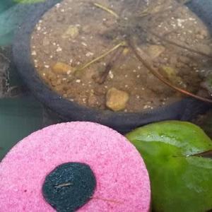 睡蓮鉢に蛙が水浴びしていた🤯