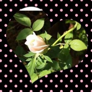 300円で買ったバラに蕾が付いた🤗PowerPointやっと終了❕