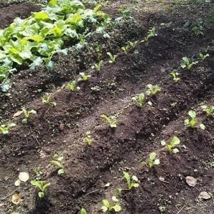 今日も三次です❗若葉マークですが、野菜作りを始めました❗