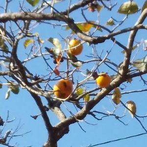柿と柚子を収穫‼️父の面会に行きました🤗