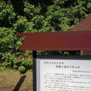 青森県北金ヶ沢にある日本一大きいイチョウの木