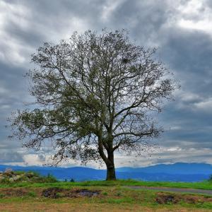 東御市、御牧原台地に立つ一本の胡桃の木