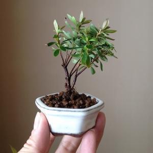 自分で作れる小品盆栽