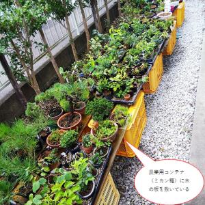 広い庭が必要? 盆栽の置き場を考える。