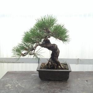 盆栽の樹を読む (ん? …読む?)