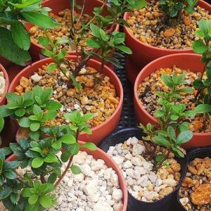 水やりは樹にとっても、そして盆栽人にとっても必要な仕事