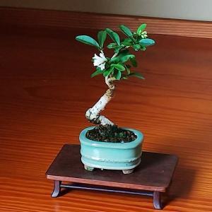 小さな盆栽はどこでも飾れる