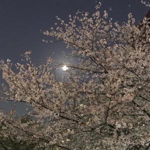 夜桜 ~あともう少し