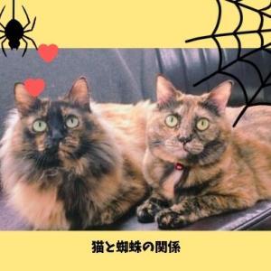 猫が蜘蛛を食べた!安全性と猫に危険な蜘蛛の種類