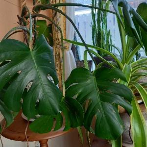 観葉植物増やさない方がいいの?、、、樹木アレルギーと化学物質過敏症!