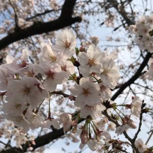 宅急便のコロナ対策。花よりデザート?桜満開きれいでした。