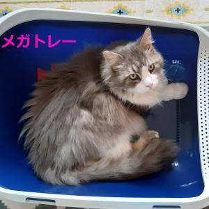 猫トイレ【メガトレー】を試してみた|きちんとトイレを使ってくれるのか?