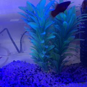 熱帯魚の水槽を2時間かけてきれいにしました。これでやっと熱帯魚が増やせます