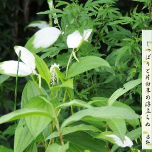 片白草(半夏生草)