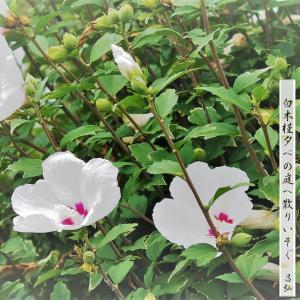 木槿・・8月のフォト俳句