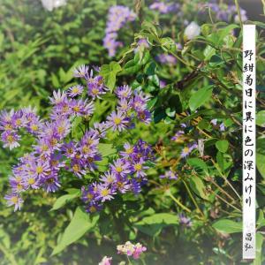 野菊(野紺菊)