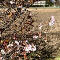 秋の桜 佐久市
