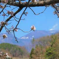 佐久市の桜は今週末が見頃です