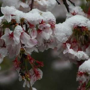 桜は雪で 私はめまいでダウン