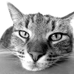 【ネコにひっかかれたら要注意!】ネコひっかき病の症状や治療について解説します