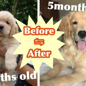 【驚愕】ゴールデン子犬は3ヶ月でここまで成長したw A golden retriever puppy has grown up so fast in 3 month!!