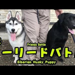 ノーリードにしたら大暴れするハスキー犬と ラブラドールがおもしろい Husky puppy