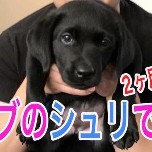 ラブラドールレトリバー (黒)子犬のシュリ リビングで大騒ぎ