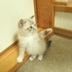 子猫と初対面(フラットコーテッドレトリーバーのココちゃん)
