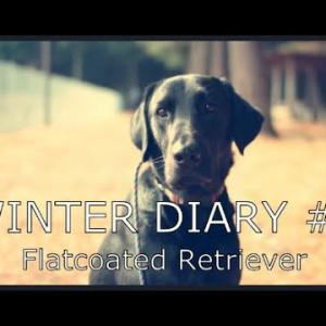 「ぼくの名前はウィンター」/ウィンター・ダイアリー#1 – フラットコーテッド・レトリーバーのいつもの暮らし