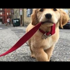 かわいいゴールデンレトリバー子犬たちの動画集が悶絶級に可愛い!おもしろハプニング映像 #4