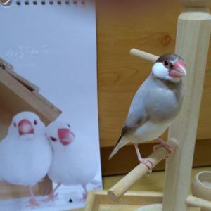 【おすすめアイテム】毎年買う文鳥カレンダーはコレ!