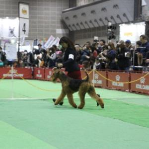 Airedales on the move