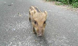 Child of the wild boar in YouTube.【イノシシの子供に遭遇!】