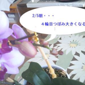 続々々~手作りマスク材料調達困難!と 2/6日~4輪目も咲いた✿胡蝶蘭「第2世代」たちno.11