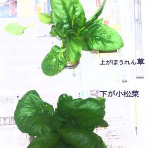 本日=木曜まで雨☂?!~昨日晴れ間~庭にて収穫した 、小松菜とほうれん草の違いをさぐる・・・?!