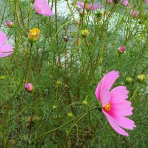 また朝からの☂雨→止だり降たり、秋の✿花?!~コスモスを探して街路樹下にカメラを向ける_no.1