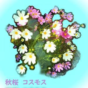 今朝はすごい☂雨ですが→☁曇?!へと 、 秋桜(コスモス)写真合体に慣れず~苦労でした_no.3
