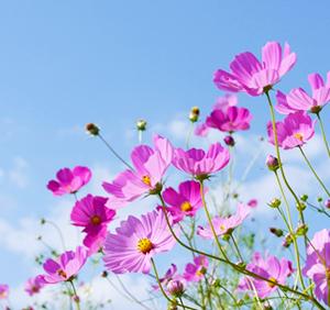 歌詞「秋桜」を思う・・・(9/17記事の続きです!)